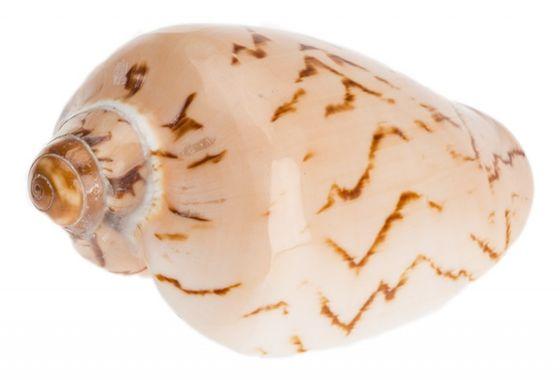 Voluta nobilis 8cm – Bild