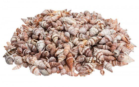 Vexillum rugosum 1kg ca. 2-4cm – Bild