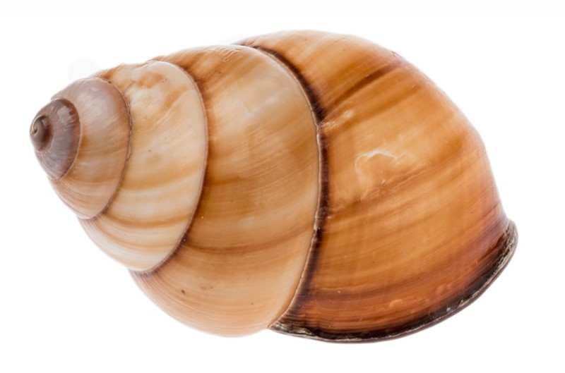 Helicostyla rufogastra 4-5cm