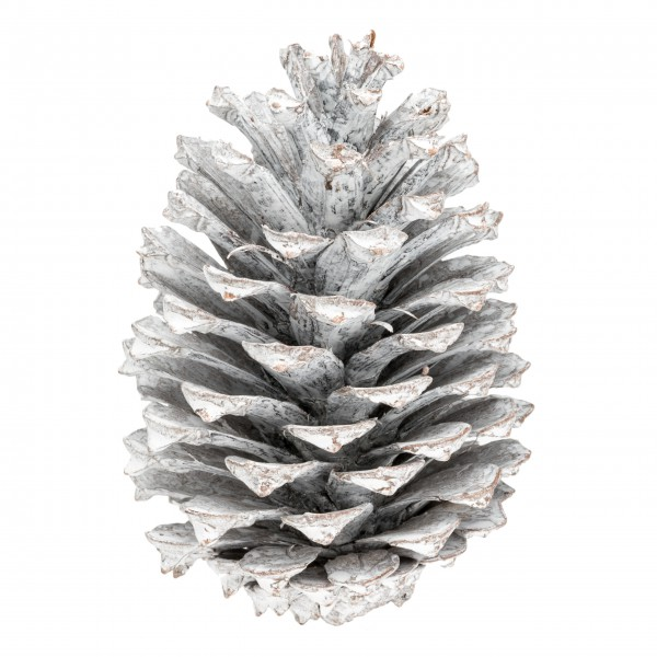 Pinus Maritima 10-14cm weiß 12 Stück