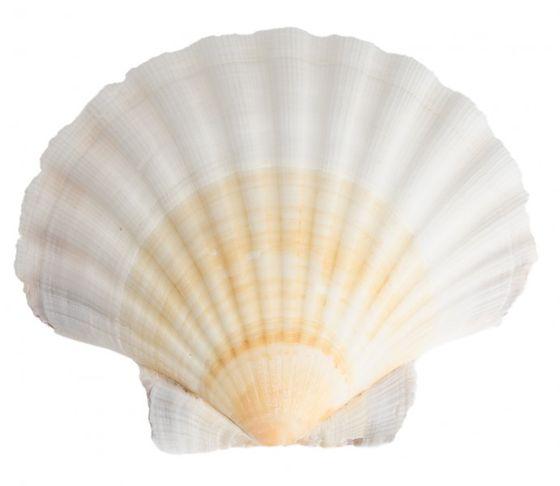 Pecten jacobeus 10-12cm | Jakobsmuschel – Bild 1