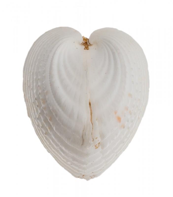 Lunulicardia hemicardia ca. 4cm | Herzmuschel