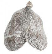 Badam weiß ca. 8-12cm | Sterculia foetida  – Bild 2