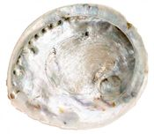 Haliotis midae extra Groß ab 16-20cm | Abalone Schnecke – Bild 1