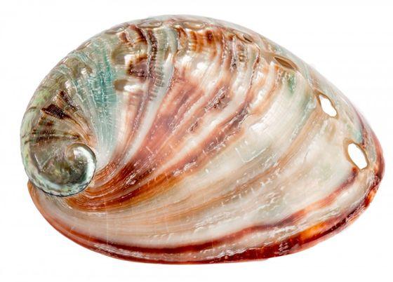 Haliotis rufescens 6-8cm poliert | Abalone Schnecke – Bild 1