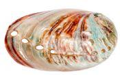 Haliotis rufescens 6-8cm poliert | Abalone Schnecke – Bild 2