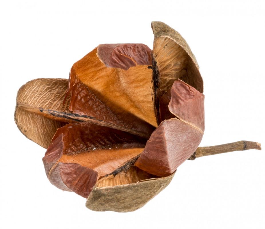 Rosa tefte ca. 8cm  | Cochlospermum orinocense