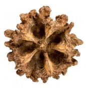 Mamoninha ca. 3-5cm | Austernfrucht – Bild 1
