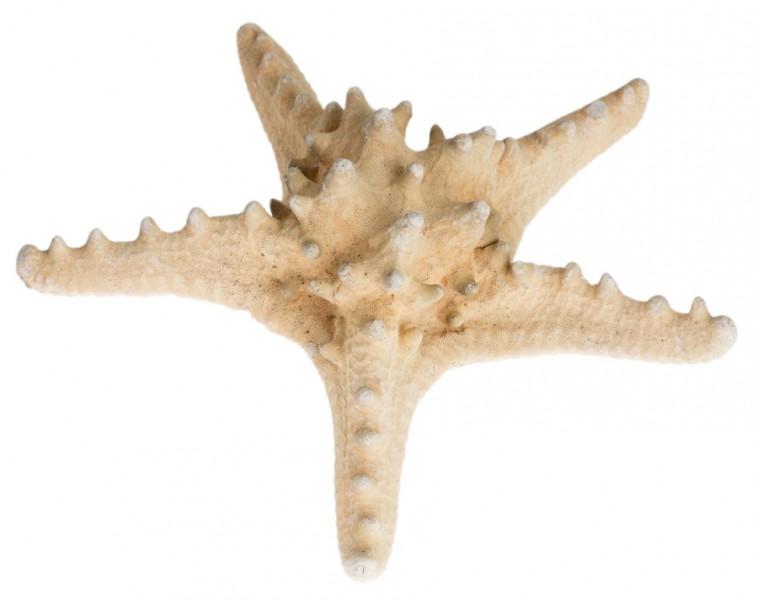 Noppen Seestern natur 10-15cm