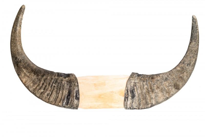 Wasserbüffelhorn Paar mit Holz