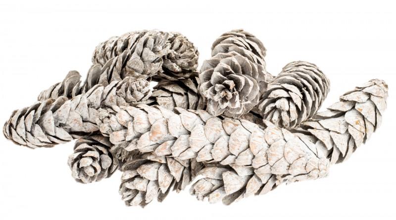 Strobus large weiß 14-20cm 10 Stück