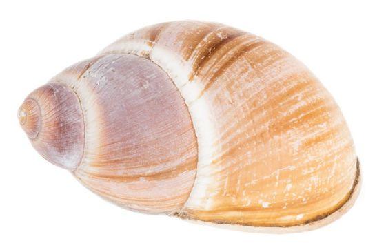 Schnecke Caracol ca. 6-8cm | Megalobulimus – Bild