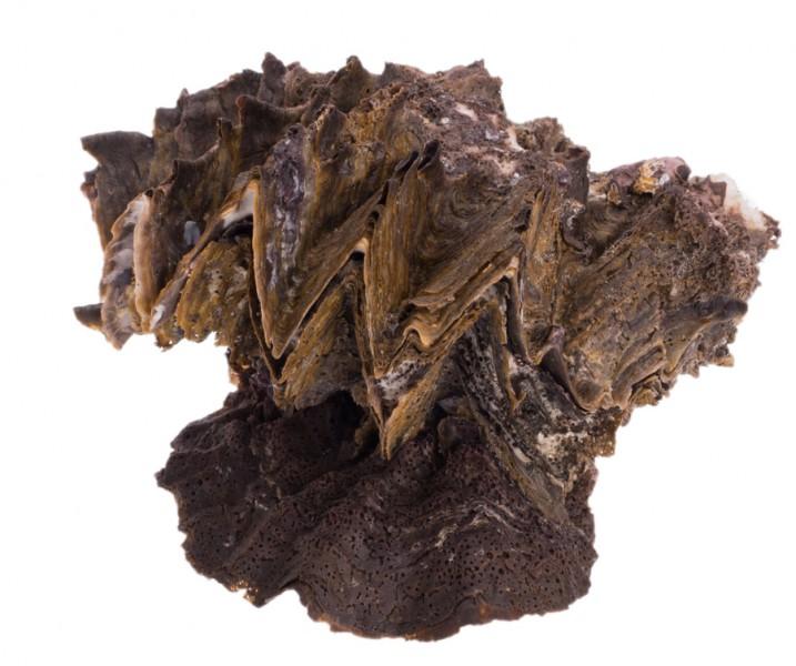 Hyotissa hyotis ca. 15cm