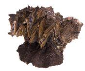 Hyotissa hyotis ca. 15cm  – Bild 1