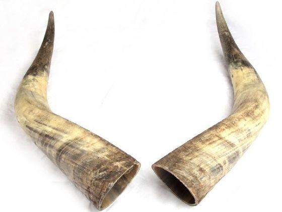 Rinderhorn Paar natur 70-79cm – Bild