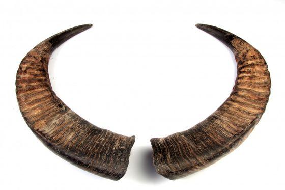 Wasserbüffelhorn Paar 30-50cm – Bild