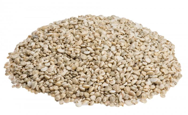 Schnecke Umbonium hell 1kg