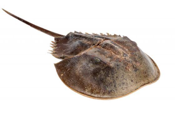 Pfeilschwanzkrebs ca. 23 cm – Bild 1