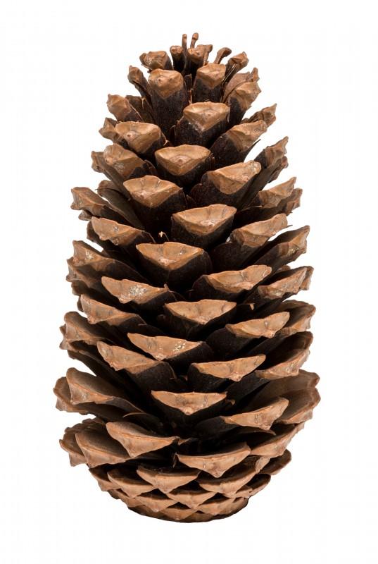 Pinus Maritima 10-14cm Natur 10 Stück