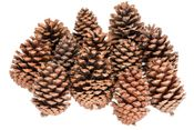 Pinus Maritima 10-14cm Natur 10 Stück – Bild 2