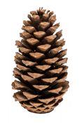 Pinus Maritima 10-14cm Natur 10 Stück – Bild 1