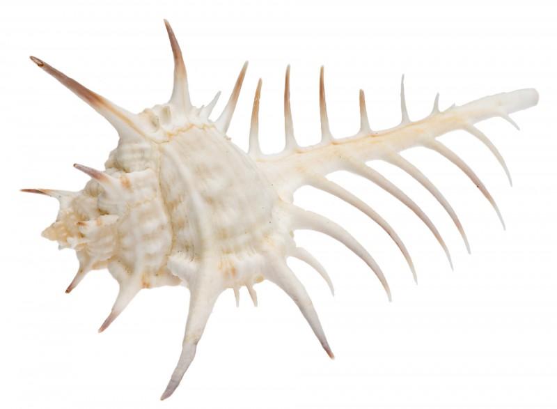 Murex ternispina ca. 7-8cm