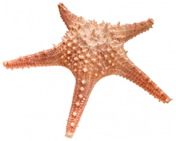 Seestern Pentaceraster ca. 20cm