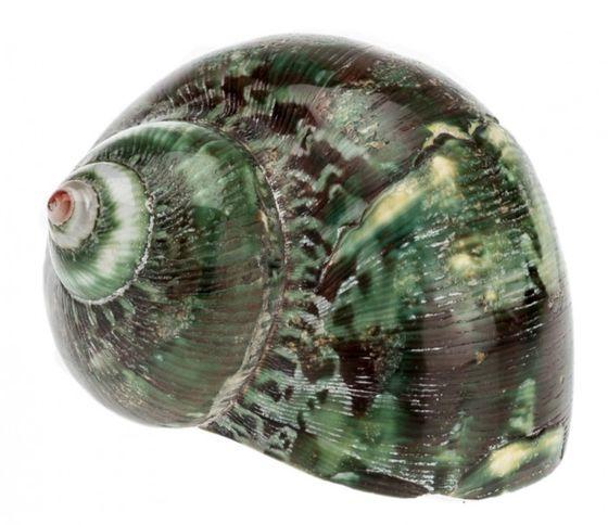 Turbo petholatus grün ca. 4-6cm – Bild