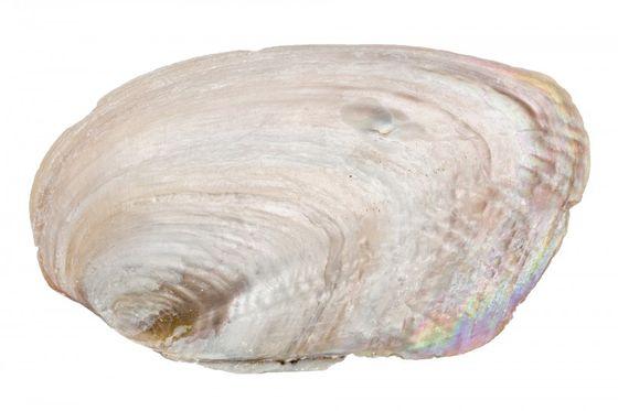 Muschelschalen groß ca. 15-20cm – Bild 2