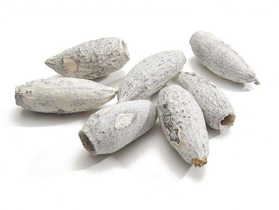 Jecetiba 7-9cm weiß | Cariniana legalis – Bild 2