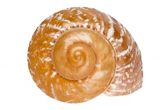 Ryssota zeus ca. 5cm – Bild 1