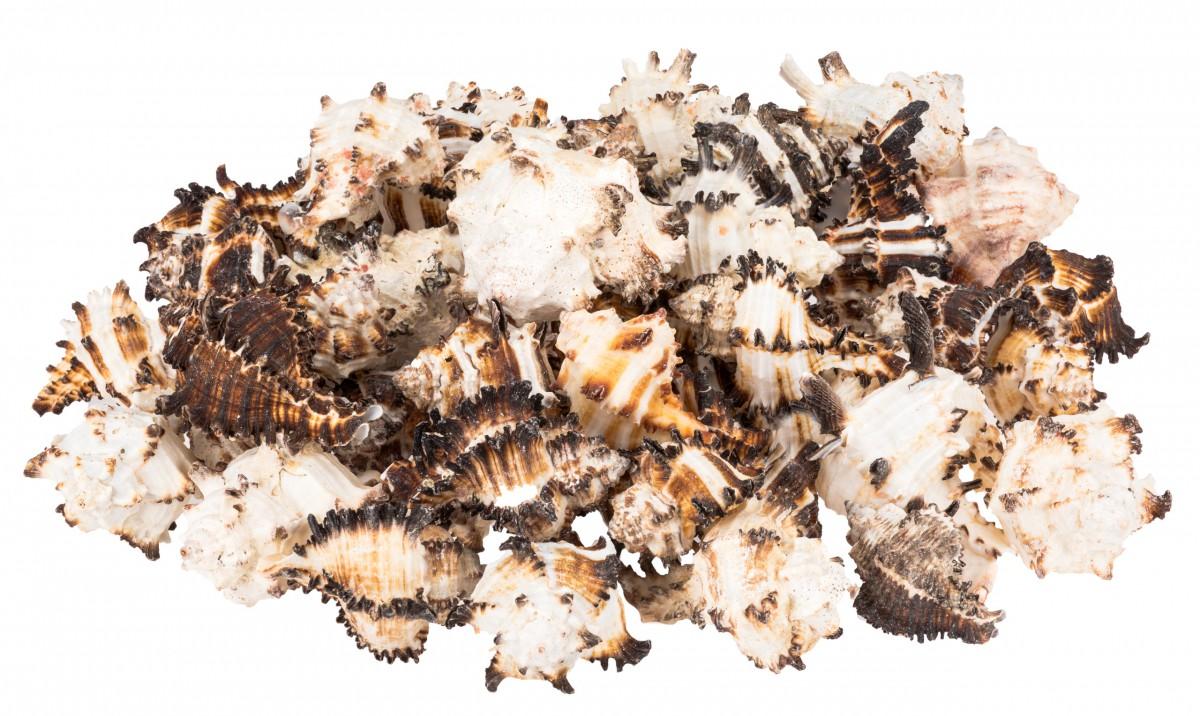 Murex endivia 1kg 6-10cm | Endivienschnecke