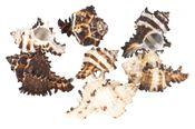 Murex endivia 1kg 6-10cm | Endivienschnecke – Bild 2