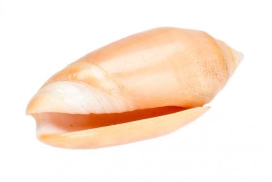 Oliva amethystina ca. 4-5cm – Bild 1