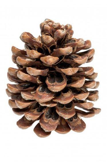 Pinienzapfen 14-18cm | Pinus Pinea – Bild