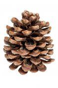 Pinienzapfen 14-18cm | Pinus Pinea