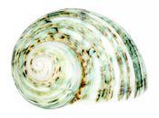 Turbo argyrostomus geschliffen ca. 5cm – Bild 1