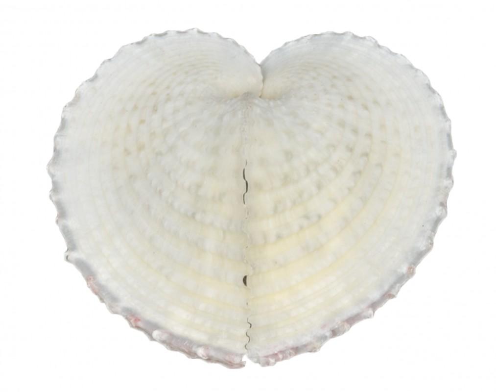 Corculum cardissa ca. 6cm | Herzmuschel