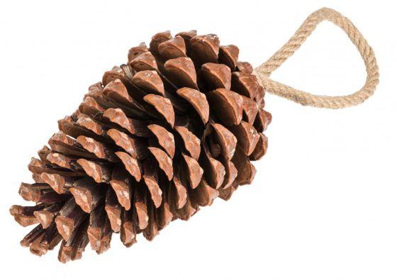 Pinus Maritima 14-18cm mit Kordel  – Bild 1