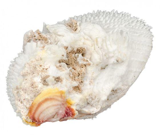 Spondylus varius ca. 13cm – Bild 1