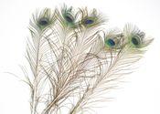Pfauenfeder natur 5 Stück ca. 75-90cm – Bild 1