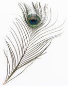 Pfauenfeder natur 1 Stück ca. 25-30cm – Bild 1