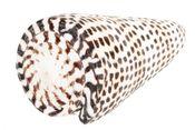 Conus litteratus ca. 8cm – Bild 1