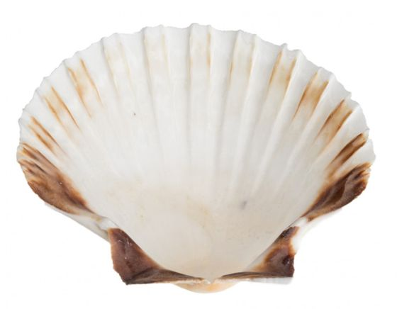 Pecten jacobeus 12-15cm | Jakobsmuschel Schale – Bild 2