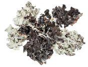 Schwarzes Moos Natur 250g | Black moss – Bild 2