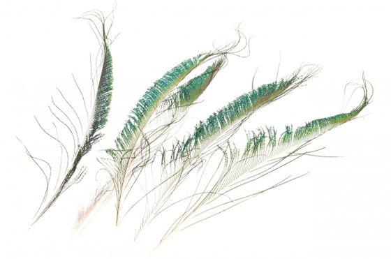 Pfauenschwert natur 5 Stück ca. 30-35cm – Bild 1