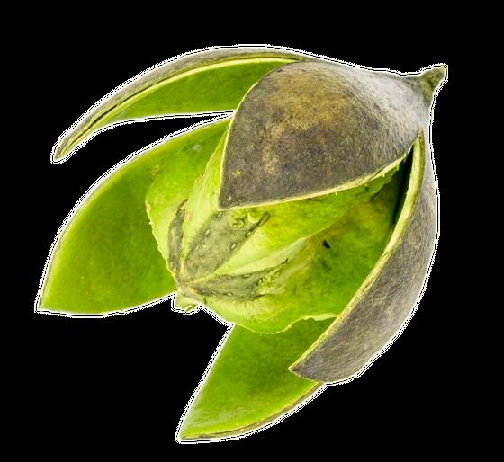 Wildlilie apfelgrün ca. 6cm | Soymida febrifuga – Bild 1