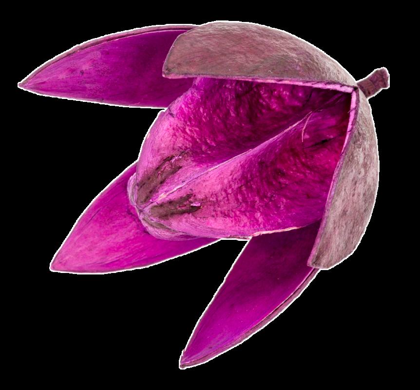 Wildlilie aubergine ca. 6cm | Soymida febrifuga