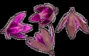 Wildlilie aubergine ca. 6cm | Soymida febrifuga – Bild 2