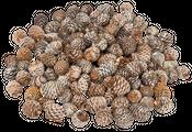 Murii Zapfen natur 3-5 cm 1kg | Leucadendron muirii – Bild 1